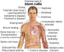 Embryonic Stem Cells VS. Adult Stem Cells